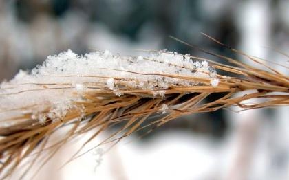 Январские морозы разогрели экспортные цены на российскую пшеницу
