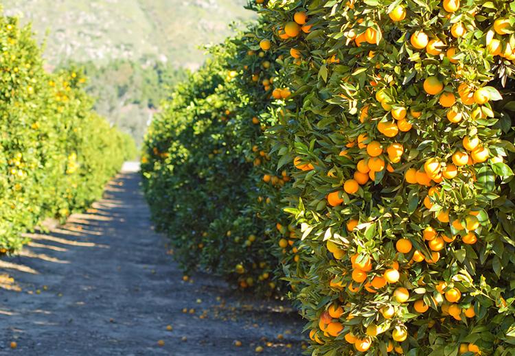 Турция начала поставки апельсинов в РФ