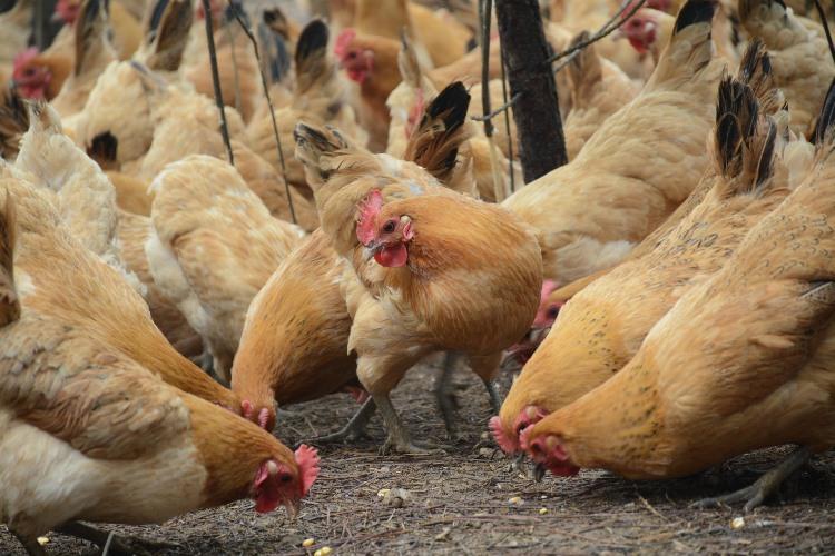 РФ «сложила лапки»… куриные. Наэкспорт в КНР