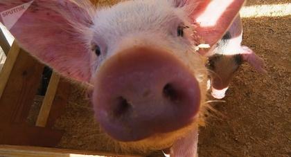 Белоруссии не удалось «подэкспортировать свинью» − настало время тотального запрета